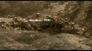 Ameisen attackieren Schlange - [driver ants attack snake]