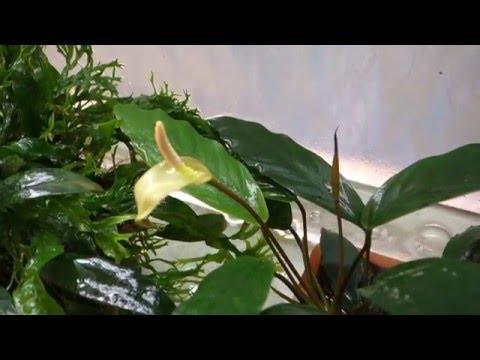 Анубиас минима  (Anubias barteri var. glabra minima)