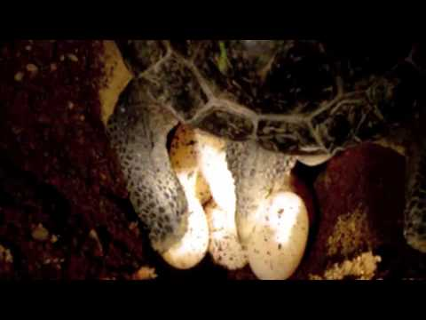 Turtle Reproduction (Mating, Nesting, Hatching)