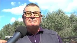 В Италии спилят миллион вековых оливковых деревьев(Итальянские фермеры пытаются спасти от уничтожения вековые оливковые рощи. Из-за распространения новой..., 2015-10-19T14:49:24.000Z)