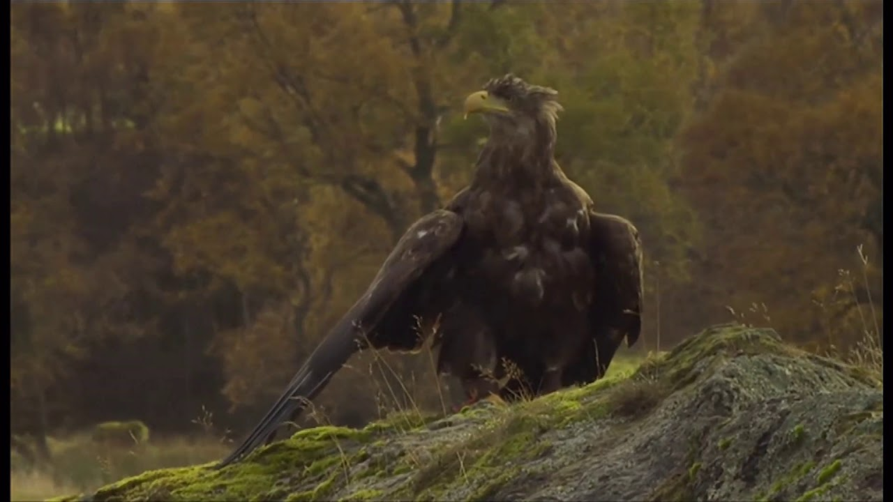 White-tailed eagles fly over London once more after centuries (UK) - BBC News - 29th December 2020