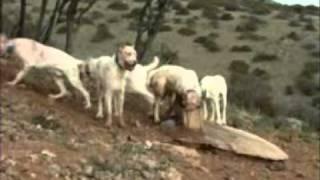 Montarias: Cães, ladras e reses (parte ...