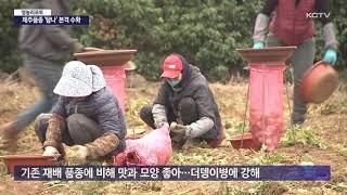 제주산 신품종 감자 '탐나' 본격 수확