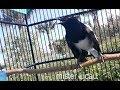 Dengan Kicau Burung Kacer Gacor Ini Sudah Banyak Kacer Yang Ikut Nyaut Gacor Dan Ngobra  Mp3 - Mp4 Download