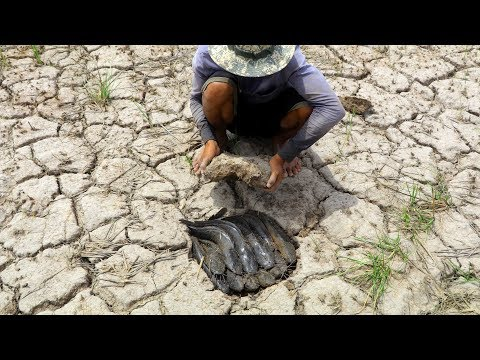 Amazing Finding A Lot Of Fish In Dry Land|Catching A Lot OF Fish By Fisher Man On Dry Season