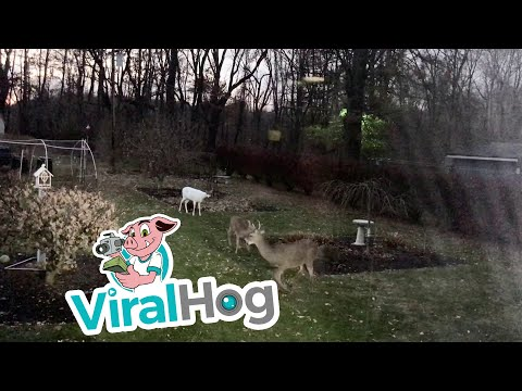 Fisher - Ever See An Albino Deer Before? Me Either!