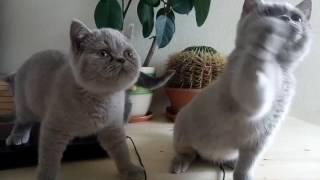 Британские котята Royal Candy Cats 15/07/16