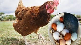 Sốc: Loài gà có thể đẻ trứng vịt, trứng chim và nhiều loại trứng khác nhau