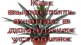 Как вырастить ананас в домашних условиях(Как вырастить ананас в домашних условиях http://youtu.be/Rnyiss1St1U Существует много способов выращивания ананаса..., 2015-03-01T14:06:58.000Z)