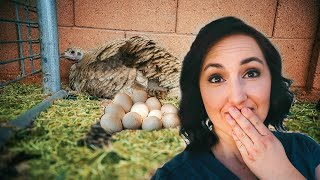 NOT AGAIN! This turkey will not stop hatching eggs!