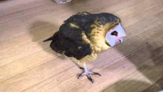 メンフクロウのクロちゃんです。 この子は2世代前にAfrican Grass Owlの...
