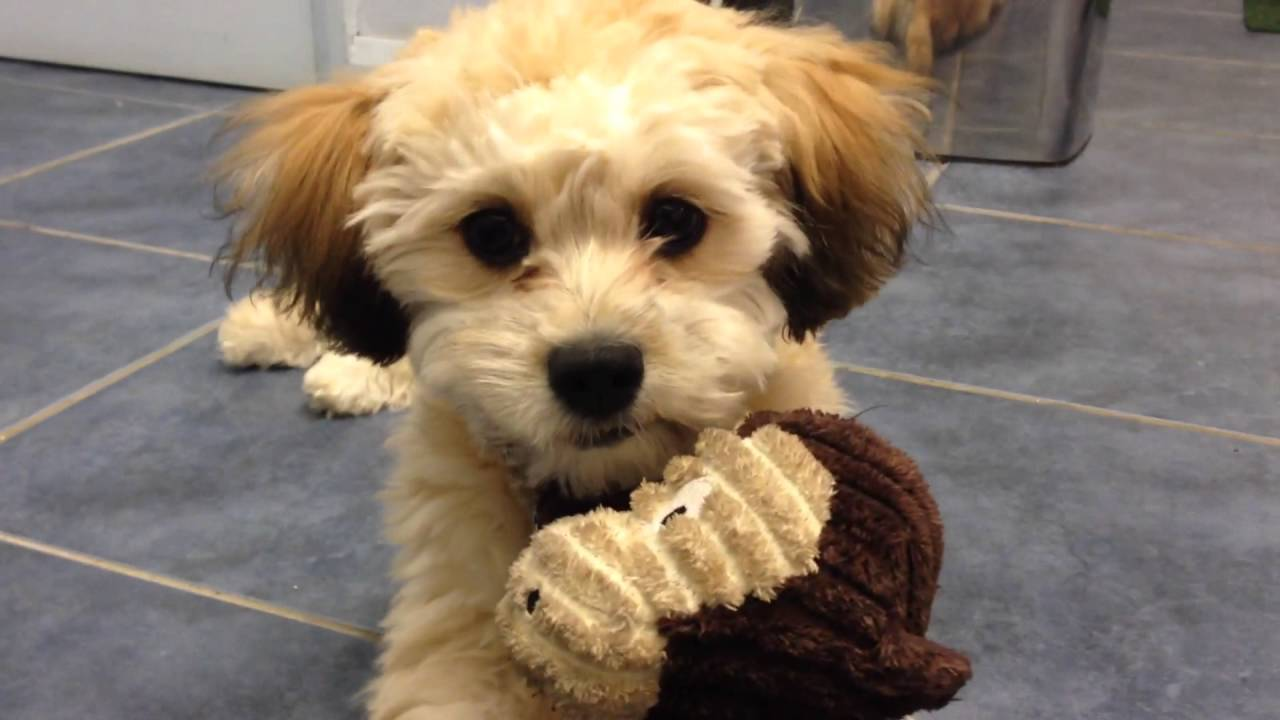 Super cool & cute puppy doggy plays with her little monkey Zuchon