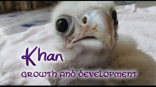 Khan the saker falcon - Growth And Development