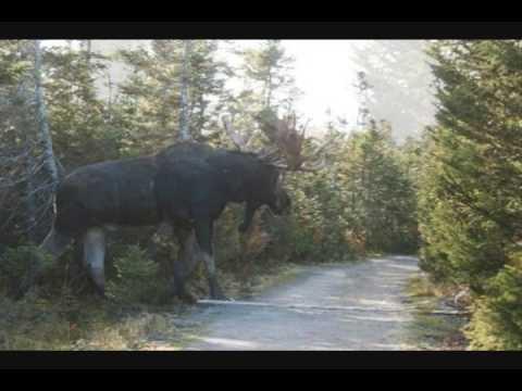biggest moose - photo #25