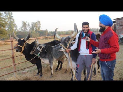 कांकरेज साहीवाल देसी गाय का सुंदर फार्म Kankrej Sahiwal Desi cow Farm in Haryana India