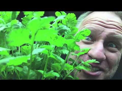 How to grow Hydroponic Cilantro
