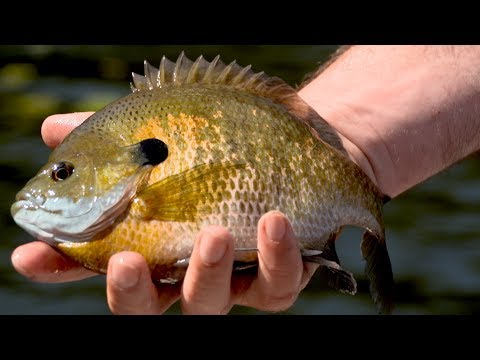 Minnesota Panfish - Big Bluegills In The Weeds