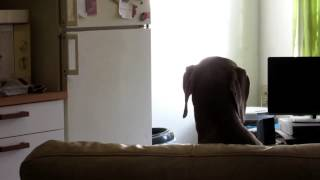 Weimaraner Singing Like Rob Halford (judas Priest)