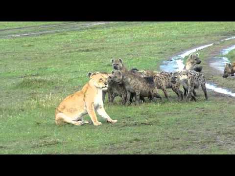 Hyenas surround Lioness and laugh