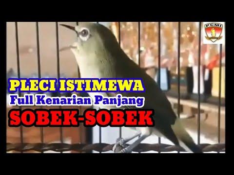 Pleci Nembak Panjang Istimewa, Full Kenarian Sobek-Sobek