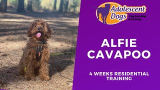 Alfie the Cavapoo Puppy - 4 Weeks Residential Dog Training