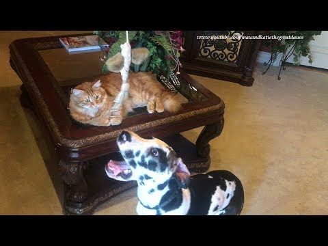 Funny Great Dane Puppy and Cat Love to Play Together with Fishing Toy
