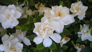 cultivo y cuidados del Jazmín / Gardenia / como solucionar la clorosis ferrica/hojas amarillas?