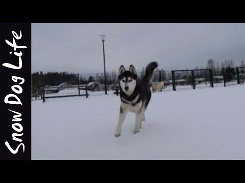 Siberian huskies at dog park!