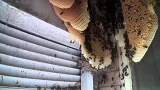 Abeilles. Déloger une colonie installée entre fenêtre et volet