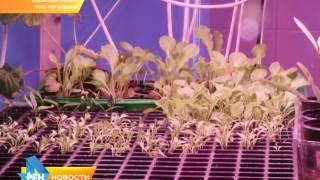 Эксперимент: овощи на рыбьем навозе