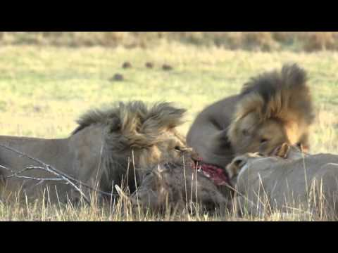 Warthog killed by lions in Pilanesberg Game Reserve