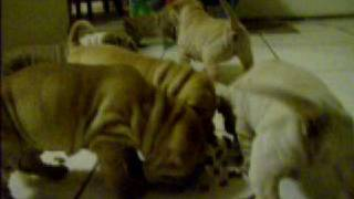 Sharpei Puppies Born Born On The 25th Of November 2008