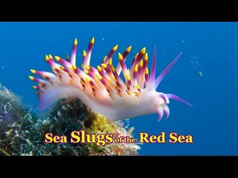 Sea Slugs of the Red Sea - 30 colorful species Nudibranchs & Sea Slugs