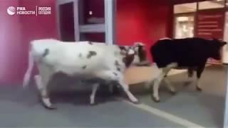 Прогулка коров по ТЦ в Сургуте