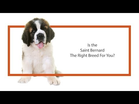 Is the Saint Bernard the right breed for me?
