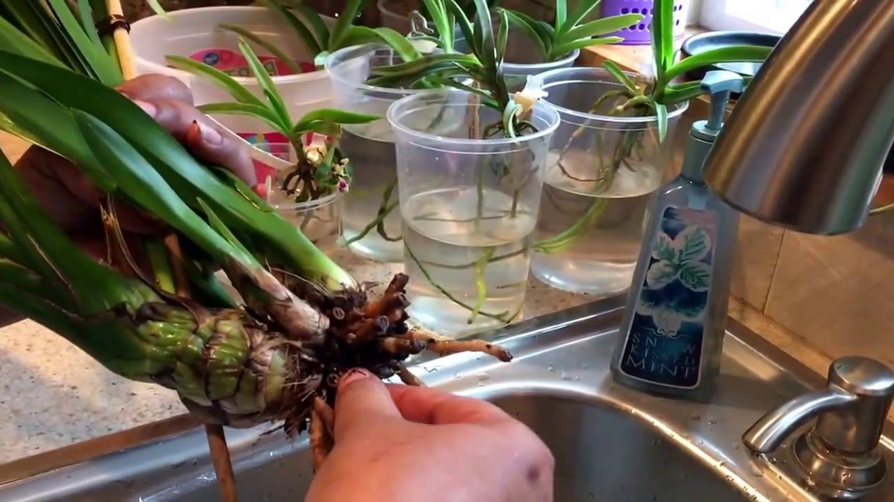 Orchid Tip How To Save Cymbidium Orchid With Root Rot Youtube