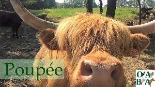 La vache Highland Poupée, sauvée de l'abandon [Reupload]