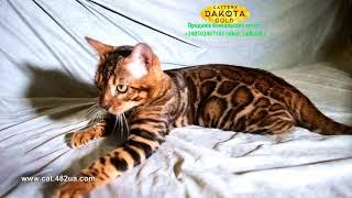 Boy 5, Dakota Gold, bengal cat, cattery, kitten, 08122018