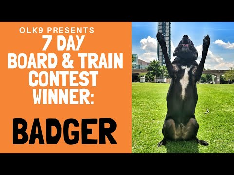 Knoxville Dog Trainers  7 Day Short Board & Train Contest Winner: BADGER!!