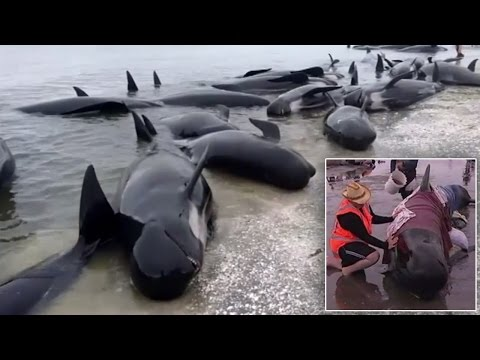 Hundreds Of Volunteers Form Human Chain In Water To Rescue 400 Beached Whales