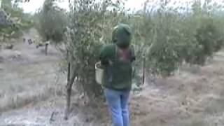 Olive Harvest at Olivina in Tri-Valley, CA