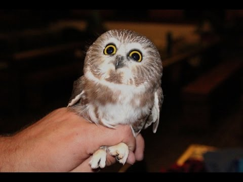 Image of: Wallpapers Hd So Cute Owl Videos Compilation Youtube So Cute Owl Videos Compilation Youtube