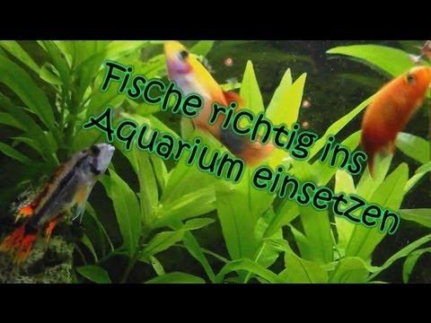 Aquarium: Einen Fisch richtig einsetzen