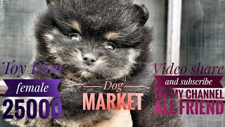 Toy pom top quality toy pom female available price 25000 only call 7357 655 281 dog market