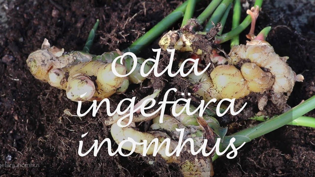 kan man odla ingefära i sverige