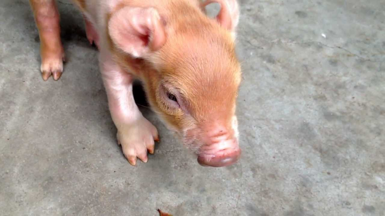 baby pig born with extra hooves and dewclaw youtube