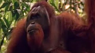 BBC Wild Nature: Orangutans - Male v Female - Indonesian Fire Islands