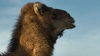 Why Are Camels So Fat in America? Deformed, Lame & Dead!
