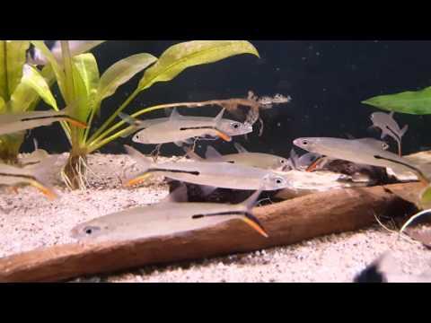 Hemiodus Gracilis (wild) Bij Aquarium Speciaalzaak Utaka