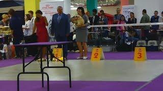 На выставке собак. Американский кокер спаниель. Ч.2. Ринги(16.09.2018)